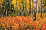 42.64 - Scenery: Autumn Birch Woods With Red Undergrowth