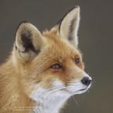 Vossen/Red Fox