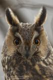 Ransuilen/Long-eared Owl
