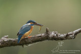 IJsvogel/Common Kingfisher