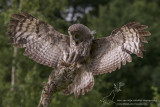 Laplanduil/Great Grey Owl