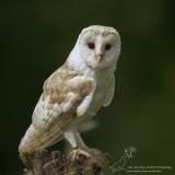 Kerkuil/Western Barn Owl