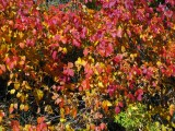 Death Hollow Poison ivy in nice autumnal colours!