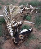 Cow skeleton in Buckskin