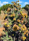 Cactus above Buckskin