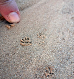 Mouse prints in the sand!