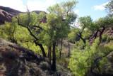 Scorpion cottonwoods