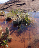 Unusual sight of cactus in water!