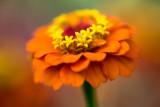 10 Cent Flowers (Zinnia)
