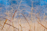 Winter Grasses with Dew