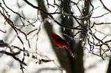Cardinal in Ice Storm
