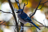 Blue Jay with Fall Colors