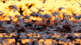 Snow Geese at Sunset - Over exposure