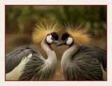 Grey Crowned Cranes by Chris Duffy, October, 2018