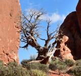 Tree at The North Window Arches Natonal Park Moab Utah 969