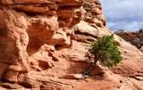 Green Tree against Red Rock at Mesa Arch Canyonlands National Park Moab Utah 175