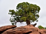 Tree at Dead Horse Point State Park Moab Utah 390