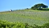 New Vines 273