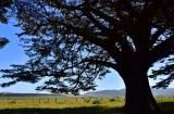 Cyprus Tree at Point Reyes National Seashore California 769