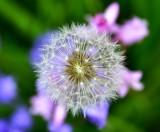 red-seeded dandelion 041