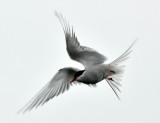 Bird in flight in Iceland 1171