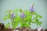 Icelandic wild flowers 357