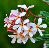 Plumeria flowers 185