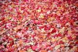 Colorful carpet of leaves, Bend Oregon 383
