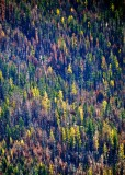 Autumn colors in burnt forest in Eastern Washington 748