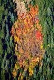 Fall foliage along Sunrise Ridge, Mt Rainier National Forest, Washington 1061