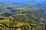 Western Larch trees in Eastern Washington 601