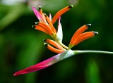 Bird of Paradise, Maui, Hawaii 014