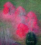 Brilliant color of fall in Snoqualmie Valley, Washington 202