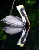 Double Pelican, Islamorada, Florida Keys, Florida 618