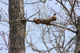 Squirrel laying on a branch