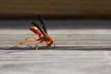 Another Wasp