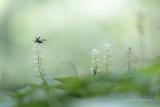 2N9B1737 170106 ready for take off  Malachius bipustulatus / malachite beetle on may lily