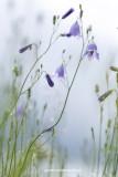 2N9B3227 harebell / grasklokje / Campanula Rotundifolia