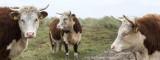 2N9B1799 Terschelling koeien op de Boschplaat