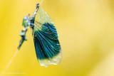 2N9B4621 wings of a banded demoiselle / vleugels van een weidebeekjuffer