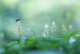 2N9B1660 dalkruid / may lily