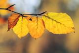 2N9B2553 beech leaves / beukenblad