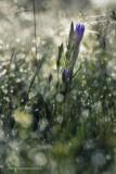 2N9B4132 Marsh gentian / gentiaanklokje