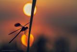 2N9B8171 waiting for the sun - banded demoiselle