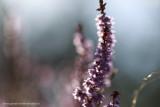 2N9B1964 blooming heather