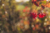 2N9B3851 berries and autumn colours
