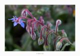 25/04/2018 · Borago officinalis
