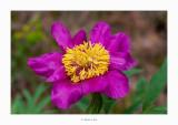 27/05/2018 · Paeoniaceae