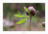 Paeoniaceae