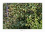11/11/2018 · Grèvol (Ilex aquifolium)